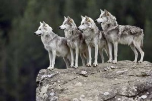 I got this photo from http://animals.howstuffworks.com/mammals/wolf-pack-mentality.htm